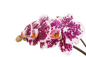 Dotted purple orchid — Stock Photo