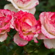 Roses trio flower — Stock Photo