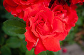Vivid red rose closeup — Stock Photo