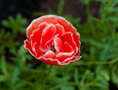 Vivid poppy flower on field — Stock Photo