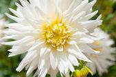 White aster closeup — Stock Photo