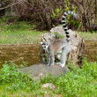 Ring-tailed Lemur standing on a tree stump — Stok fotoğraf
