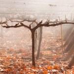 Autumn Vineyard. Mendoza — Stock Photo #24705523