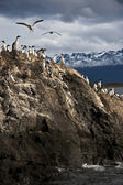 King Cormorant Colony, Tierra del Fuego, Argentina - Chile — Stock Photo