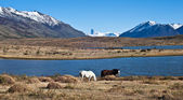 Horses in Patagonia. El Calafate, Santa Cruz Province, Argentina — Stock Photo