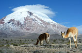 Vicugna. stratovolcano Chimborazo, Cordillera Occidental, Andes, — Stock Photo