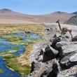 Vicuñas and alpacas graze in the Atacama — Stock Photo