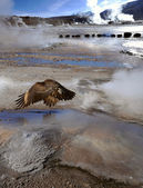 Condor in the Valley of Geysers, Atacama Desert, Chile — Stock Photo