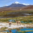 Vicuñas graze in the Atacama, Volcanoes Licancabur and Juriques — Stock Photo