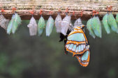 Rows of butterfly cocoons — Stock Photo
