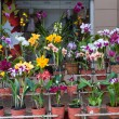 Stock Photo: Orchids for sale, Street market in Asuncion, Paraguay.