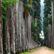 Stock Photo: Palm alley in Botanical Garden in Rio de Janeiro