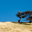 Autumn in Patagonia. Tierra del Fuego. Tree Growing in the wind — Stock Photo