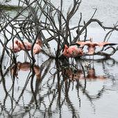 Flamingos, Galapagos Islands — Stock Photo
