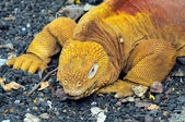 Red Dragon. Land iguana. Conolophus subcristatus — Stock Photo