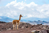 Vicuna (Vicugna vicugna) or vicugna is wild South American camel — Stock Photo