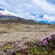 Постер, плакат: Cotopaxi volcano over plateau covered with flowering crocuses
