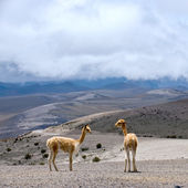 Wild South American camel, Andes of central Ecuador — Stock Photo