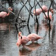 Stock Photo: Flamingos have arrived to island of Isabella, Galapagos Arch