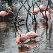 Flamingos have arrived to the island of Isabella, Galapagos Arch — Stock Photo #36372271