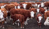 Argentinean cows — Stock Photo
