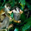 Stock Photo: Squirrel Monkey in amazon rainforest