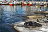 Sea lion basking in the sun in the marina port of Punta del Este — Stock Photo