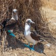 Family portrait of Blue-footed boobies, Sula nebouxii excisa — Stock Photo