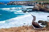 Blue-footed Booby, Ecuador Coastline, Isla de la Plata — Stock Photo