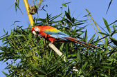 Amazonian Macaw - Ara ararauna in front of a blue sky — Stock Photo