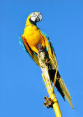Amazonian Blue-and-yellow Macaw - Ara ararauna in front of a blu — Stock Photo