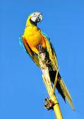 Amazonian Blue-and-yellow Macaw - Ara ararauna in front of a blu — Stock Photo