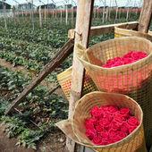 Roses Harvest, Cayambe, Ecuador — Stockfoto