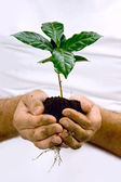Hands taking green coffee plant. — Stock Photo