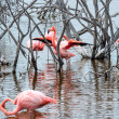 Flamingos have arrived to the island of Isabella, Galapagos — Stock Photo #46822373