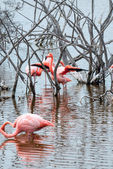 Flamingos have arrived to the island of Isabella, Galapagos — Stock Photo
