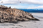 King Cormorant colony — Stock Photo