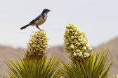 Scrub Jay Perched Atop a Flowering Joshua Tree — Stock Photo