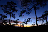 Silhouette of pine forest — Foto de Stock