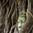 Head buddha in banyan tree — Stock Photo