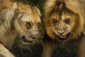 León y leona agresivo ataque peligroso — Foto de Stock