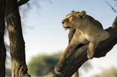 Lioness look at the tree with sky light — Stock Photo