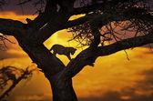 Cheetah, sunset, silhouette — Stock Photo