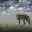 African wild cheetah — Stock Photo