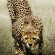 Look of cheetah — Stock Photo