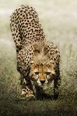 Look of cheetah — Stock Photo