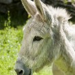 Smilling Donkey — Stock Photo