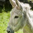 Smilling Donkey — Stock Photo #23710847
