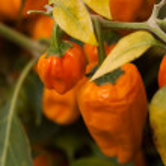 Orange paprikas — Stock Photo #34093613
