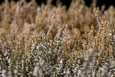 White and beige heather — Stock Photo